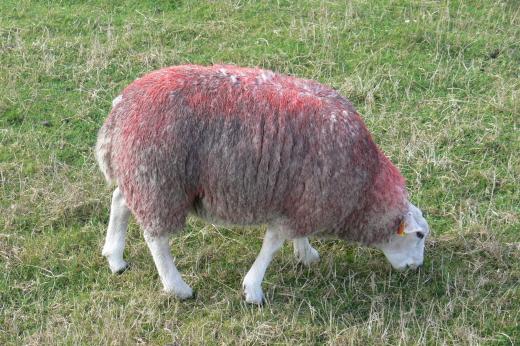 rotes Schaf